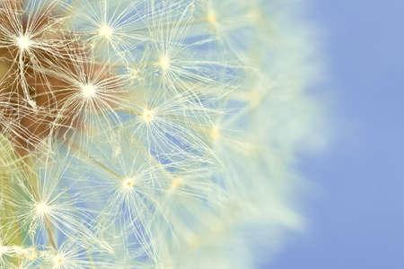 Extreme macro of a dandelion  Taraxacum officinale  photo