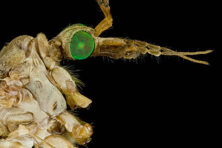 extreme macro: Extreme macro of a male crane fly  Infraorder Tipulomorpha