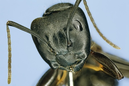 ant leaf: Extreme macro de hormigas carpinteras Camponotus pennsylvanicus