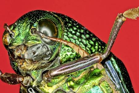 predatory insect: Extreme macro tiger beetle  Cicindela sexguttata  Stock Photo