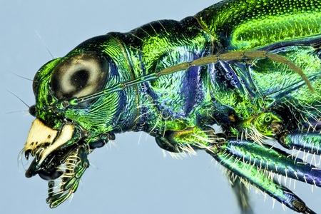 tiger beetle: Extreme macro tiger beetle  Cicindela sexguttata  Stock Photo