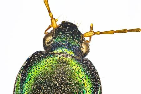 extreme macro: Extreme macro of a tiger beetle  Cicindela scutellaris  Stock Photo