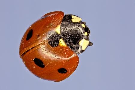 Extreme macro of a lady bug  Harmonia axyridis