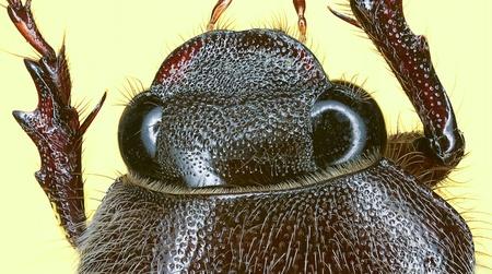 Extreme macro of brown beetle  Cyphon variabilis complex  photo