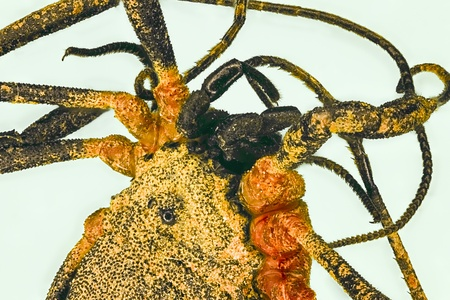 loxosceles: Extreme macro of spider  Loxosceles reclusa  Stock Photo