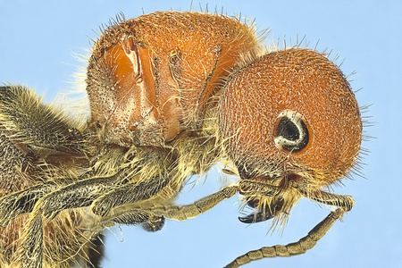 Extreme macro of red wasp  Polistes carolina  Stock Photo - 12913241