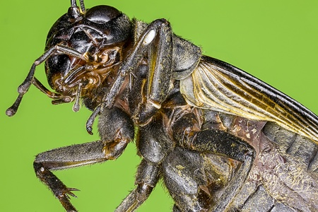Extreme macro of a field cricket  Gryllus sp   photo