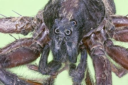 loxosceles: Extreme macro of spider  Loxosceles reclusa  Stock Photo