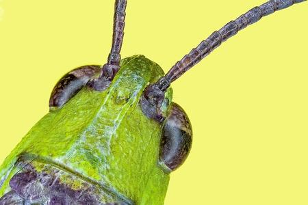 Extreme macro grasshopper  Omocestus viridulus  photo