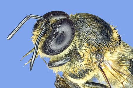 Extreme macro honey bee  Apis mellifera  photo