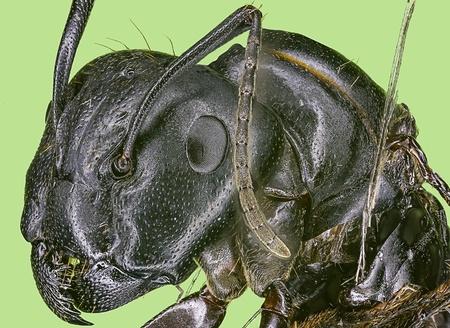 hormiga hoja: Extreme macro de la reina de las hormigas carpinteras Camponotus pennsylvanicus Foto de archivo