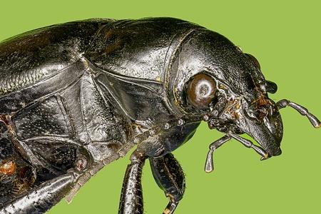 macro photo: Extreme macro hardwood stump beetle  Mallodon   dasytomus