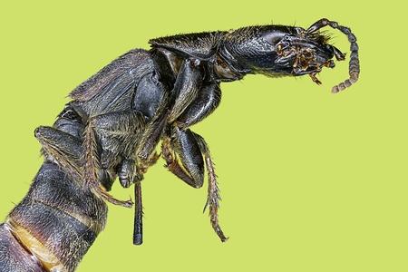 Extreme macro centipede  Scolopendra cingulata  photo