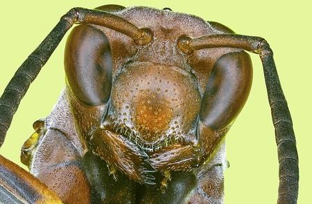 abdomen yellow jacket: Extreme macro paper wasp  Polistes metricus
