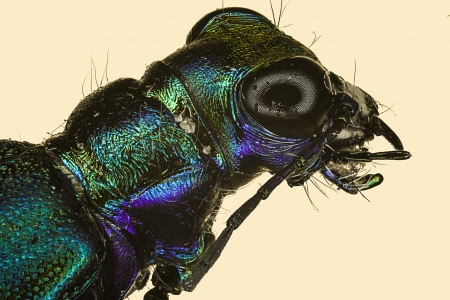cicindela: Extreme macro of a tiger beetle  Cicindela scutellaris  Stock Photo