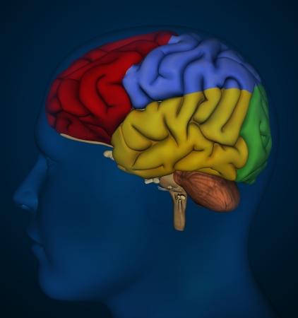 ventricles: Brain detail Stock Photo
