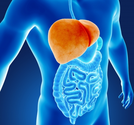 falciform: Human liver Stock Photo