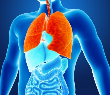 bronchial: Human lungs Stock Photo