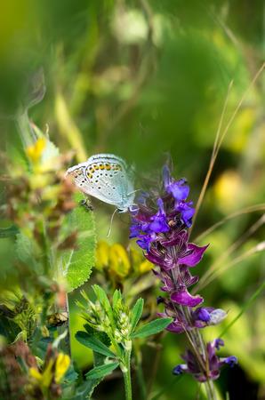 nice body: Little butterfly on a summer meadow flower