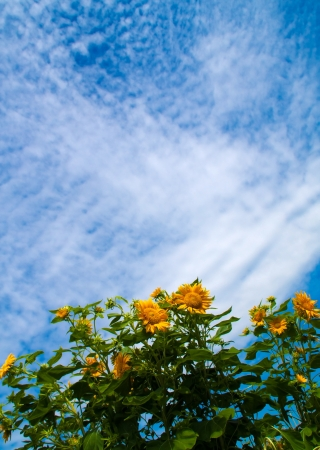sunflower is a beautiful yellow flower, blossom is directed toward the sun  Scenery is so beautiful, pretty, pure, freshness like springtime Stock Photo
