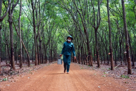 workwoman: Worker collect rubber latex among rubber plantation, everyone has a area  Binh Phuoc, Viet Nam- May 9, 2013