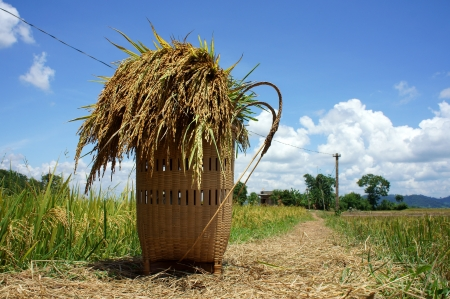 papoose: Sheat of corn put in papoose, and let on the way among ricefield Editorial