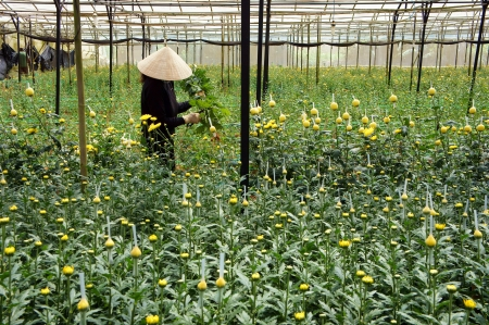 Farmer harvest daisy which grow in conservatory  Dalat, Viet Nam- September 05, 2013 Stock Photo - 22294289