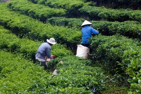 teepflanze: Zwei Arbeiter tragen konische Strohhut, w�hlen Sie Durchsuchen aus Tee-Pflanze und legte in Korb an Teeplantage 31. Juli 2012