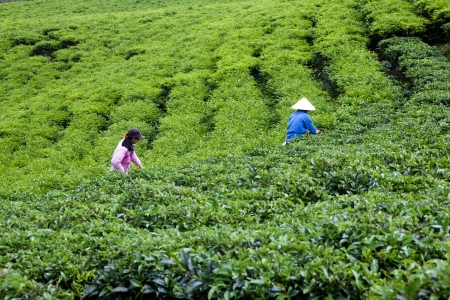 Two people wear conical straw hat,  pick browse from tea plant and put into basket at tea plantation  July 31, 2012