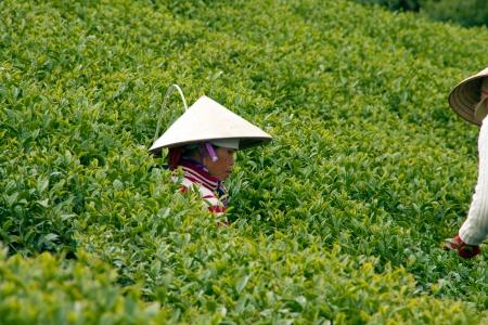 teepflanze: Frau tragen konische Strohhut abholen durchsuchen vom Teestrauch und legte in Korb auf Teeplantage 31. Juli 2012