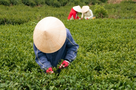 Three woman wear conical straw hat pick browse from tea plant and put into basket at tea plantation  July 31, 2012
