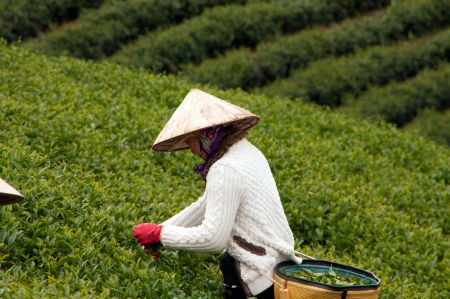 Woman wear conical straw hat pick browse from tea plant and put into basket at tea plantation  July 31, 2012