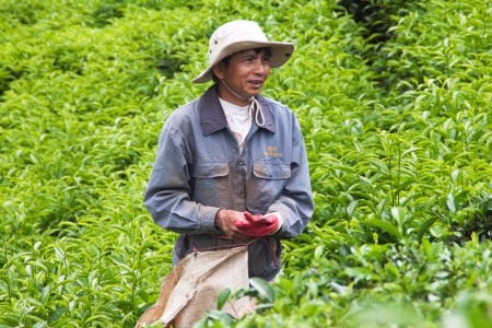 Workman with smile on face pick tea leaves at plantation  July 31, 2012