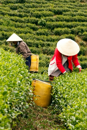 loc: Two woman wear conical straw hat,  pick browse from tea plant and put into basket at tea plantation  July 31, 2012