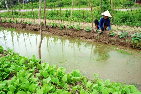 nurseryman: Women wear conical straw hat pull grass to clean vegetable, there has a pond cross the farmland   October 14, 2012 Editorial