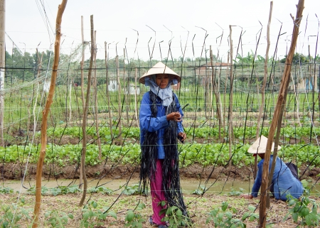 nurseryman: Women wear conical straw hat bind string into frame where chinese pea can climd on it at farmland  October 14, 2012