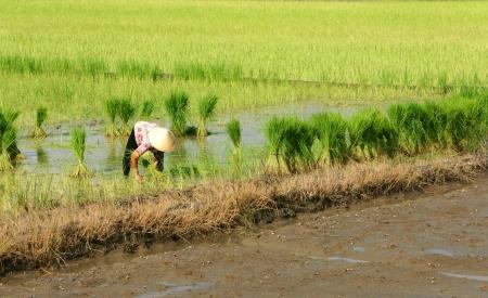 pull up: Farmer tirare su giovani piante di riso in campo Donna sporgersi con l'estremit� posteriore spuntava e tirare su riso-semina in risaia 7 ottobre 2012