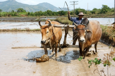 Farmer with two buffalos ploughing on rice field, February 4, 2013 in Binh Thuan, Viet Nam