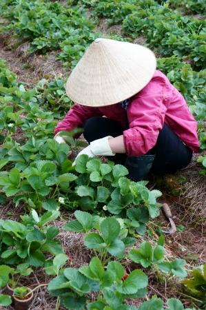 DA LAT, VIET NAM- SEPTEMBER 5: Farner working at Strawberry farm, Dalat, Viet Nam, September 5, 2013                Editorial