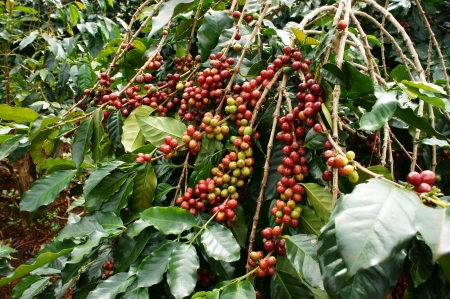 Coffee tree with red ripening bean at coffee plantation Archivio Fotografico