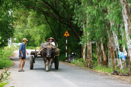 cart road:  A couple of farmer riding buffalo cart on country road, the road with row of trees make  pure, clean, beautiful landscape of Vietnamese countryside ,Viet Nam, Nov 13, 2013 Editorial