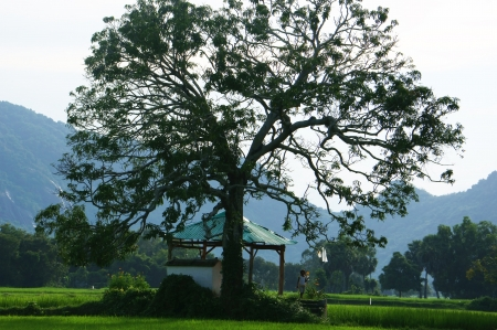 large tree: The temple under large tree on rice field with one children walking on