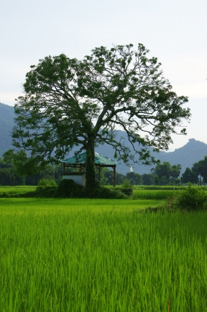 large tree: The  temple under large tree on green rice field