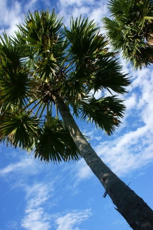 Palm tree with trunk and leaves direct toward blue sky