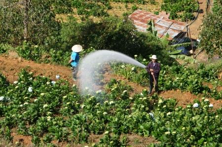 dalat: DA LAT, VIET NAM- DEC 29: Vietnamese farmer working on flower garden in morning, they watering with backwards way in Dalat, Vietnam on dec 29, 2013
