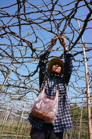 interlace: PHAN RANG, VIETNAM- JAN 24: People care vine at vine garden, he working under frame that shed leave, branch of creeper make interlace network, Phan Rang is vine growing region, Viet Nam, Jan 24, 2014