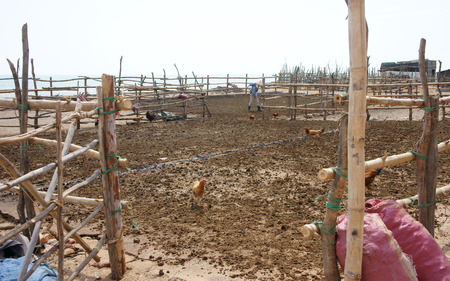 dry cow: BINH THUAN, VIETNAM- JAN 21: People dry cow pat on drying ground to recycle into muck for agriculture produce, the ground cover by bamboo fence and chickens looking for feed, Viet Nam, Jan 21, 2014