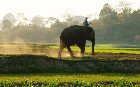BUON ME THUOT, VIETNAM- FEB 7  People ride elephant on path at countryside, dusty way by dust of soil, vegetalble field in green at evening, mahout ride this animal for travel, Viet Nam, Feb 7, 2014