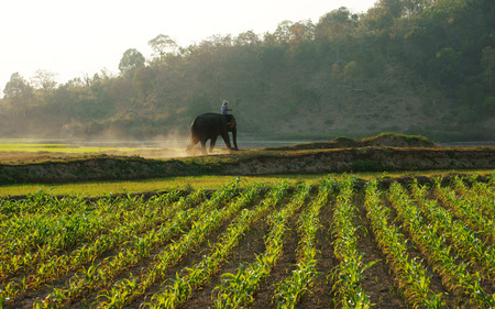 BUON ME THUOT, VIETNAM- FEB 7  People ride elephant on path at countryside, dusty way by dust of soil, vegetable field in green at evening, mahout ride this animal for travel, Viet Nam, Feb 7, 2014