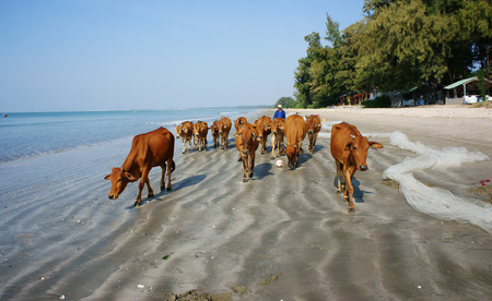 BINH THUAN, VIETNAM- JAN 22  Funny scene on seaside, people pasture herd of cow walking on beach, beautiful seashore with sand, tree and green environment under blue sky, Viet Nam, Jan 21, 2014